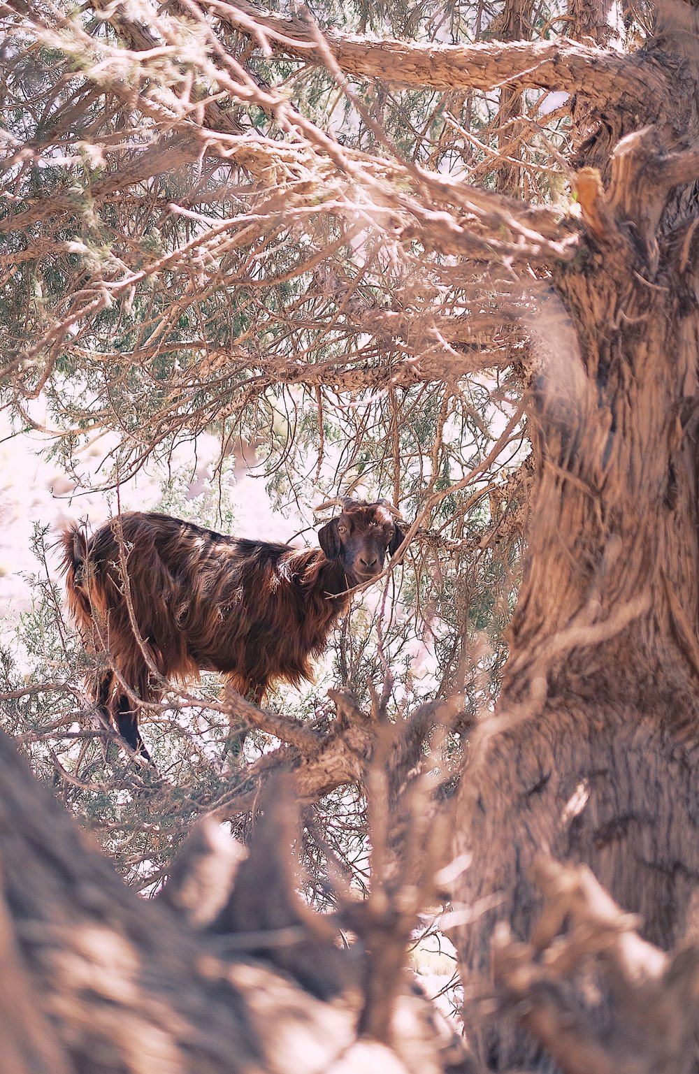 atlas mountains goat in a tree by luis cardenas.jpg