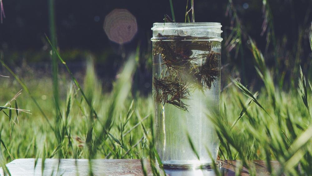#006 Douglas Fir Tip Sun Tea | Leaves & Flowers