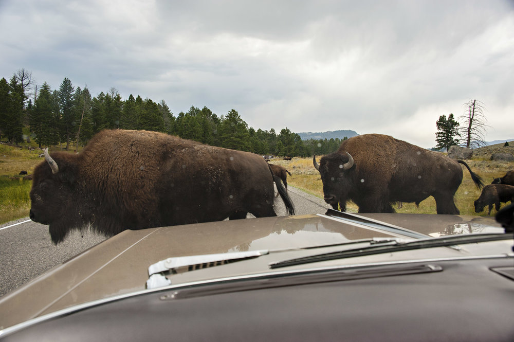 Bison have the right of way in YNP.  Don't honk at them.  Nikon D700, Nikon 28-200m lens @28mm, ISO 320, f9, 1/320 sec.