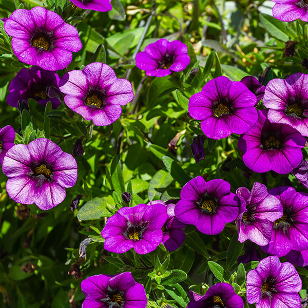 Superpetunia småblomstret «Million bells»