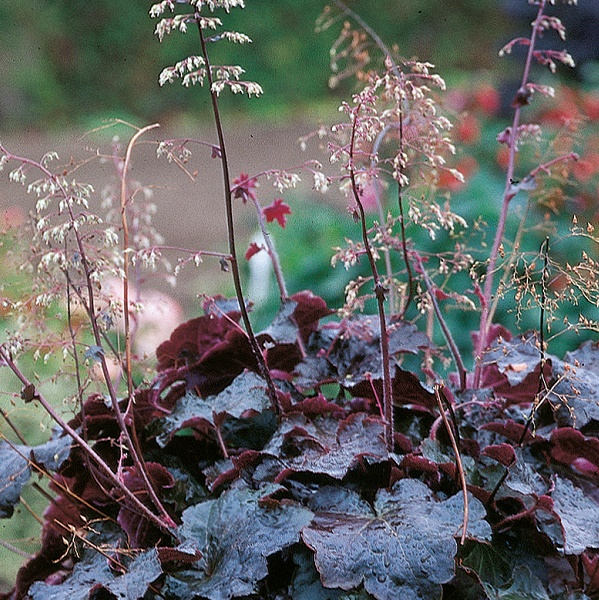 Foto: Volmary Heuchera Palace Purple