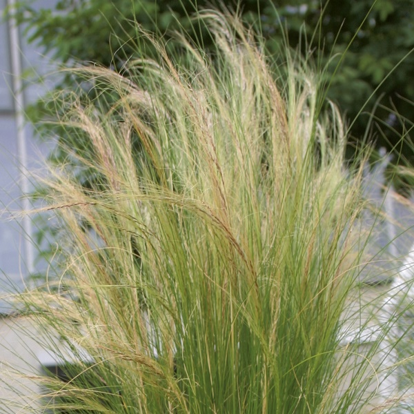 Foto Volmary Stripa tenuissima Ponytails