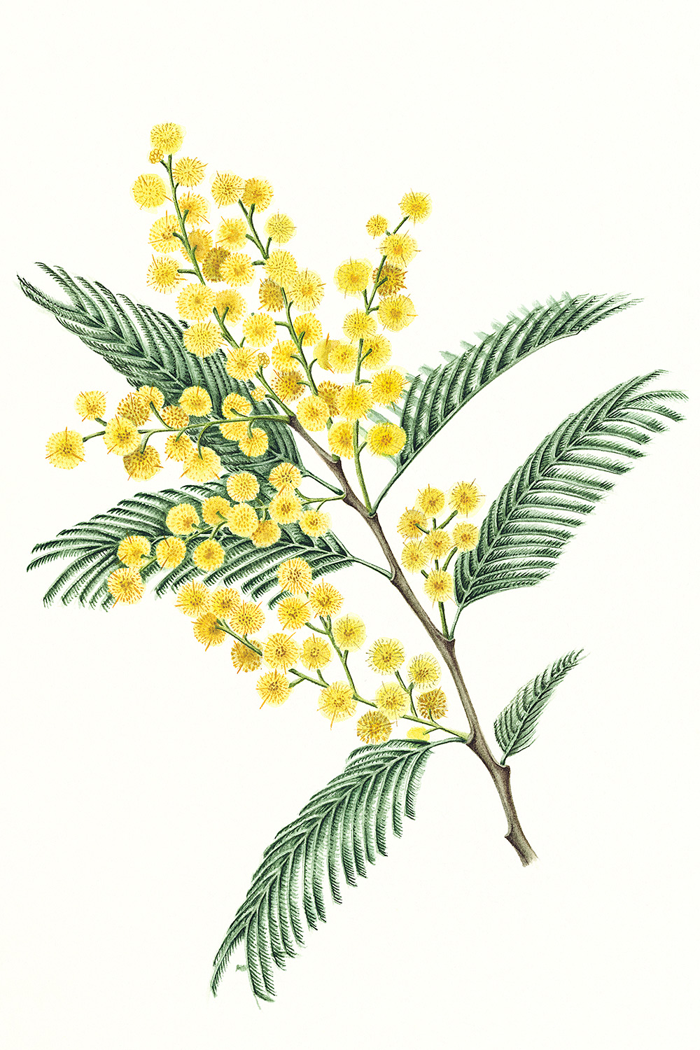 Mimosa, 2012, watercolour on paper