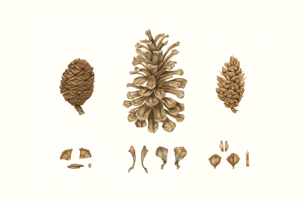 Pine Cones, Yosemite, 2010, watercolour on paper
