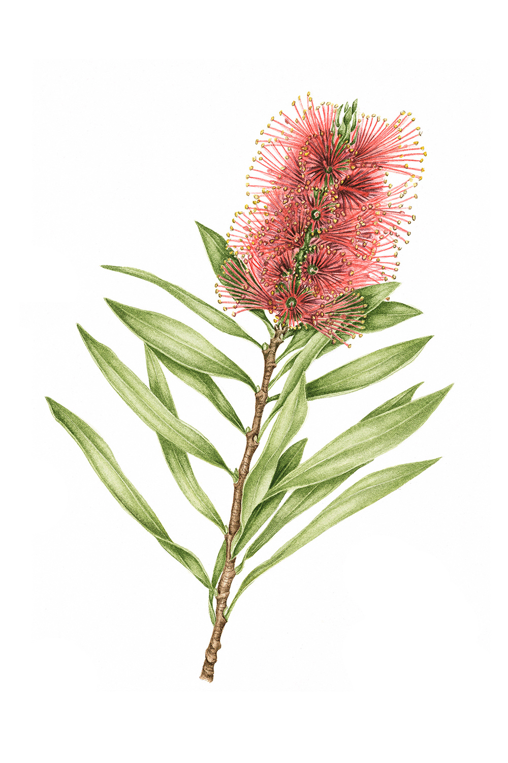 Bottle Brush, 2011, watercolour on paper