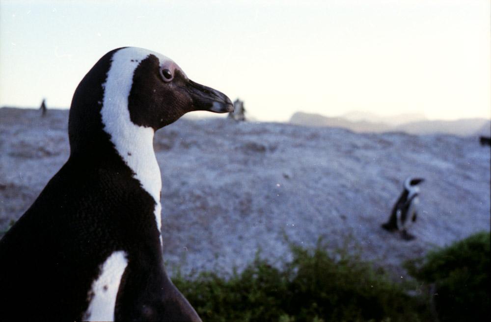 Penguin © Alastair Wiper
