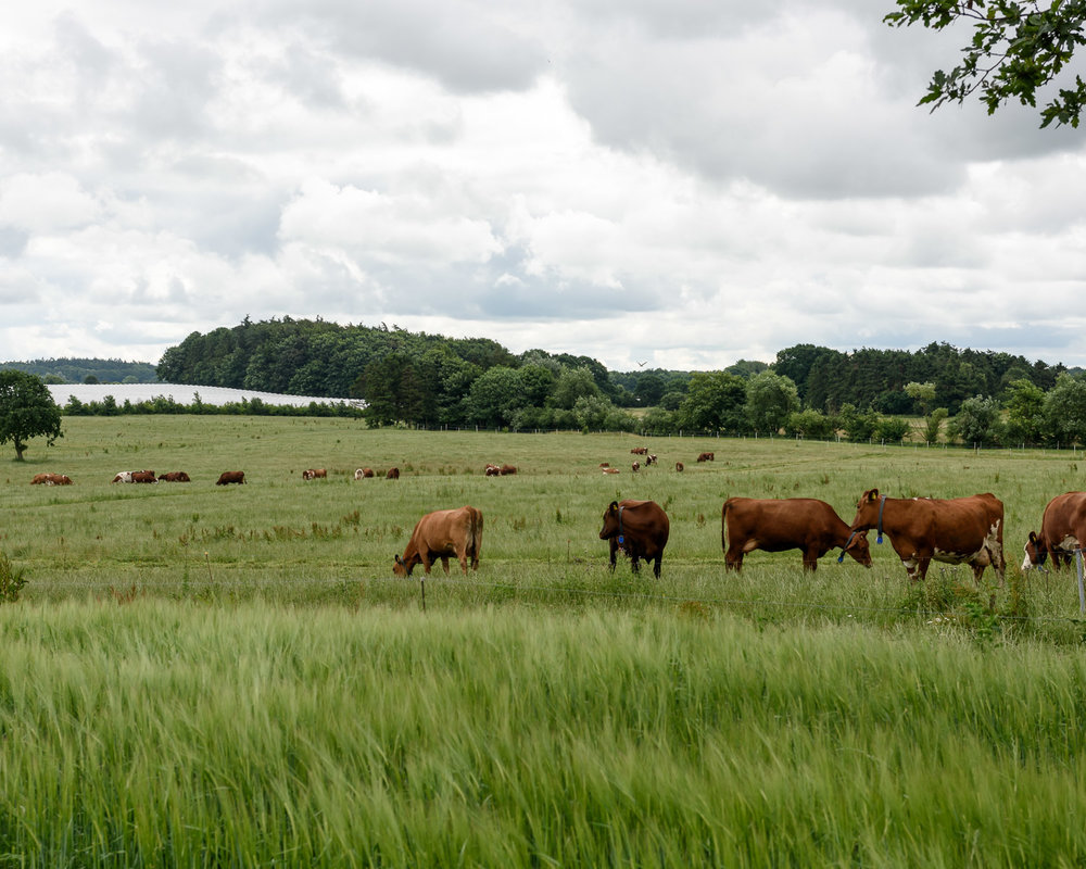 Cows in the field at Peter Sivertsen's farm just outside Roskilde     try{(function() {if (typeof(lpcurruser) == 'undefined') lpcurruser = ''; if (document.getElementById('lpcurruserelt') && document.getElementById('lpcurruserelt').value != '') { lpcurruser = document.getElementById('lpcurruserelt').value; document.getElementById('lpcurruserelt').value = ''; } if (typeof(lpcurrpass) == 'undefined') lpcurrpass=''; if (document.getElementById('lpcurrpasselt') && document.getElementById('lpcurrpasselt').value != '') { lpcurrpass = document.getElementById('lpcurrpasselt').value; document.getElementById('lpcurrpasselt').value = ''; } var lploc=3;var lponlyfill=1;(function() { var doc=document; var _u=null; var _p=null; var body=doc.body; if (lploc==3 && body.className.indexOf('squarespace-login') =0) { var inps =doc.getElementsByName('password'); if (inps.length 0) { _p =inps[0]; } inps =doc.getElementsByName('email'); if (inps.length 0) { _u =inps[0]; }  if (lpcurrpass && _p) { _p.value = lpcurrpass; } if (lpcurruser && _u) { _u.value = lpcurruser; } } })();lpcurruser = ''; lpcurrpass = '';})();}catch(e){}
