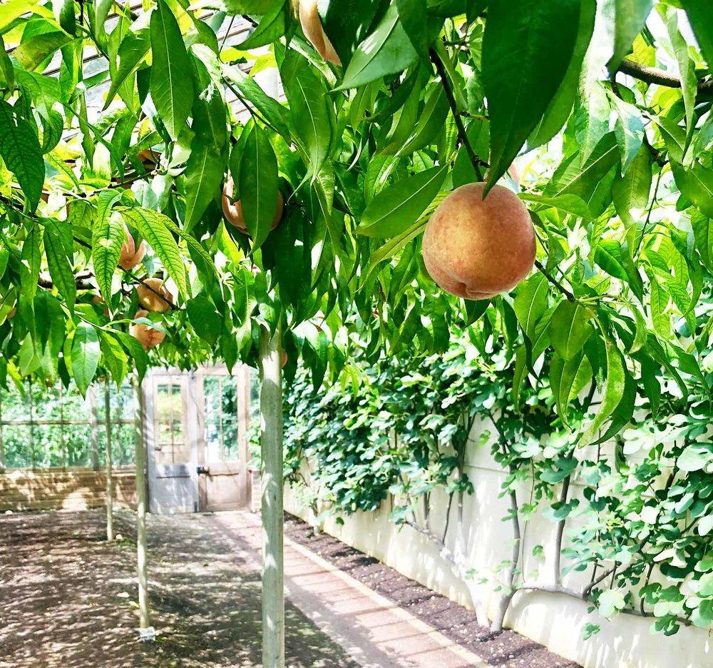 peaches-square.jpg