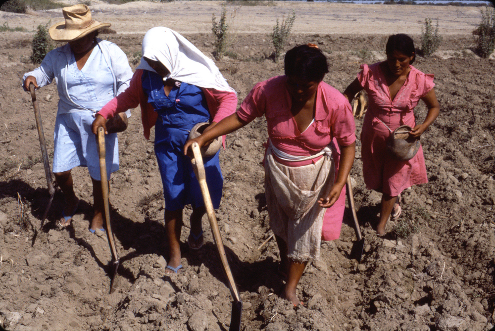 Indian women planting native cotton in Arequipa