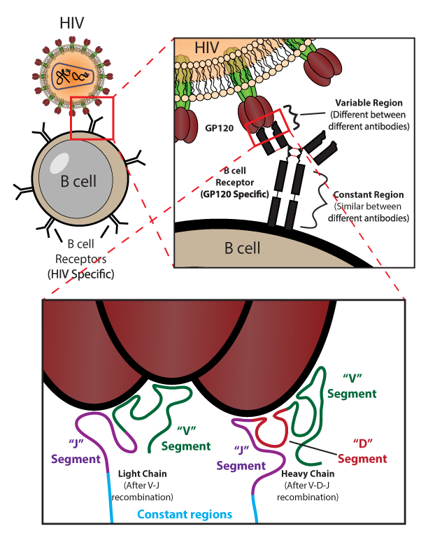 Antibody Binding to HIV