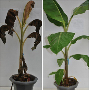 On the left, a normal banana plant infected with Xanthomonas, on the right, an infected plant that expresses Xa21 and is resistant.