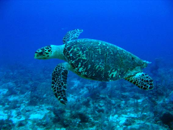 Hawksbill_Turtle.jpg