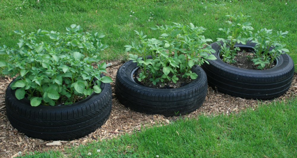 Tires make it easy to grow potatoes