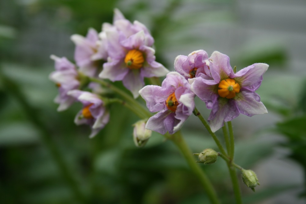 Potato flowers are pretty, too!