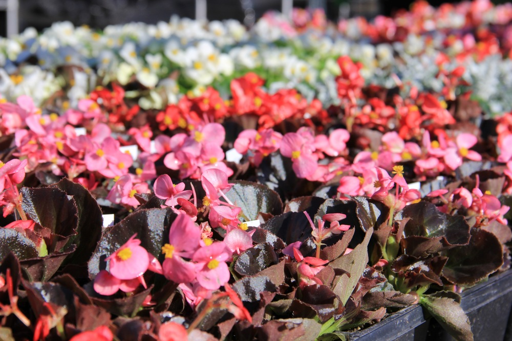 Begonias are a staple in many yards.