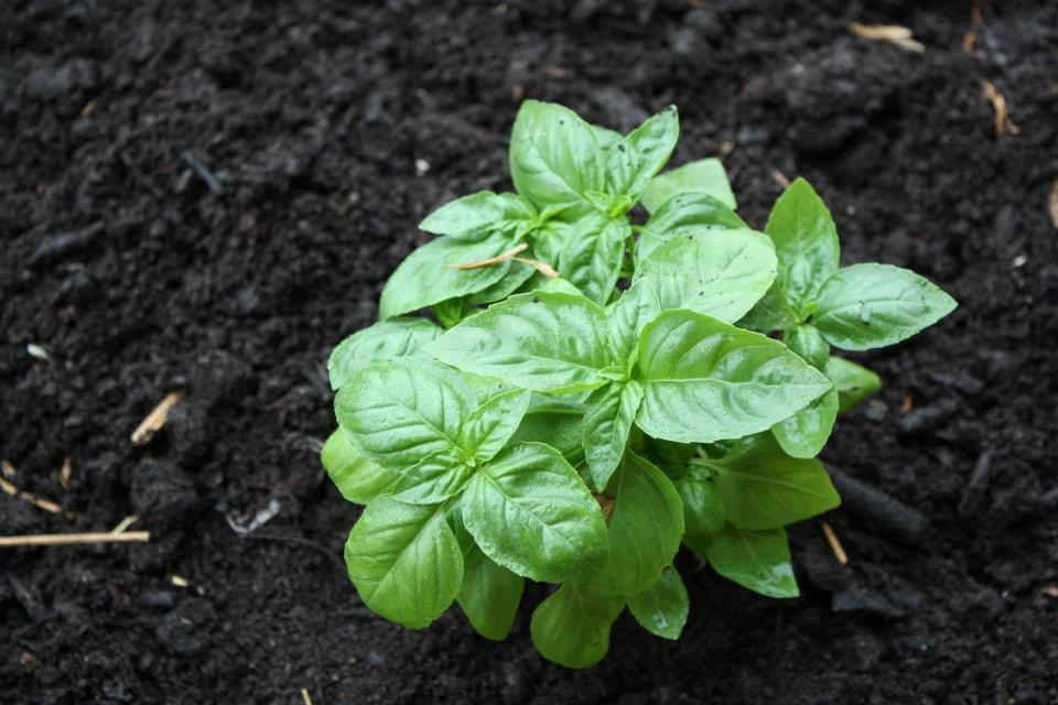 little basil plant.jpg