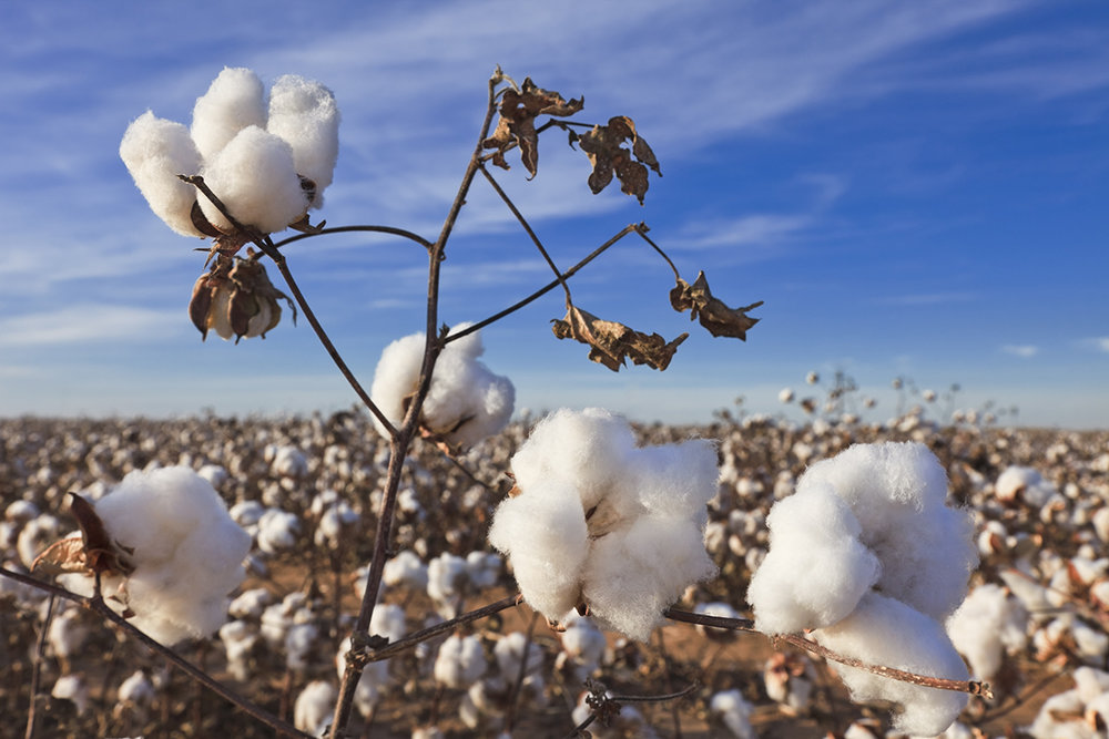 Gap sustainable cotton