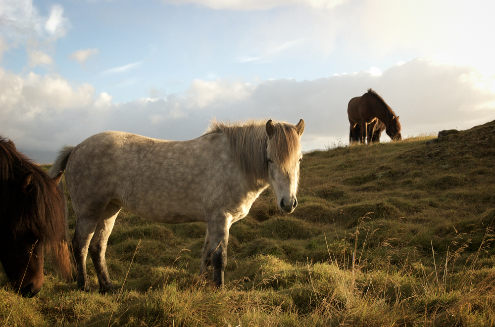 luzod-design-co-mae-iceland-horse-golden-hour.jpg