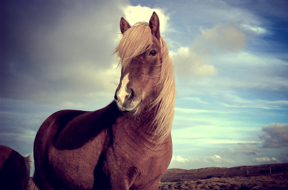 luzod-design-co-mae-iceland-horse-stare.jpg