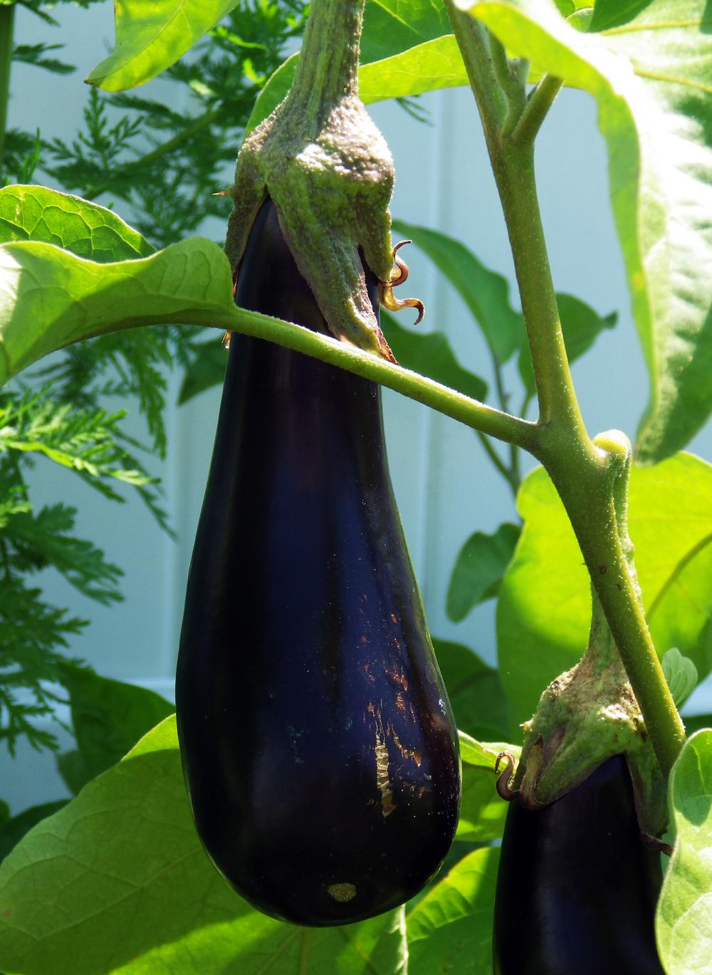 Eggplant2.jpg