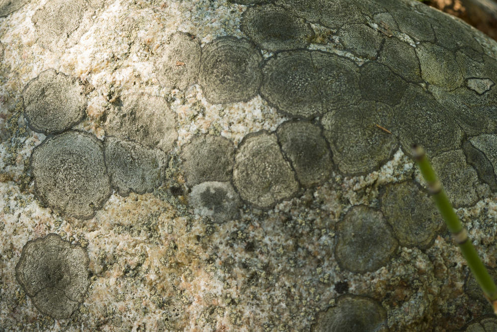 Peculiar lichen patterns on a rock