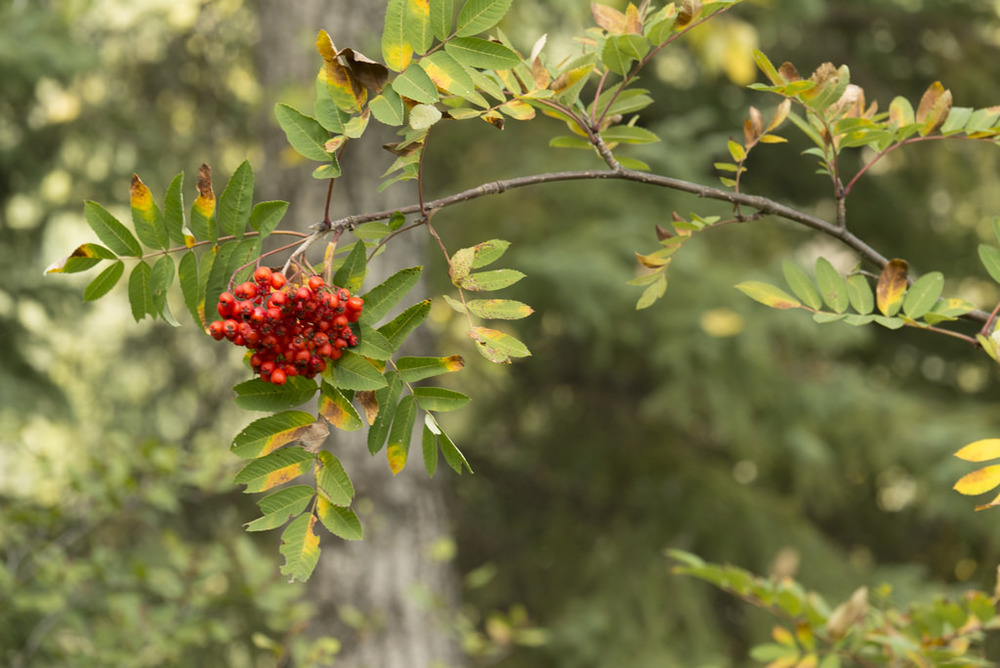Mountain ash berries found at the top of Rice River Canyon.