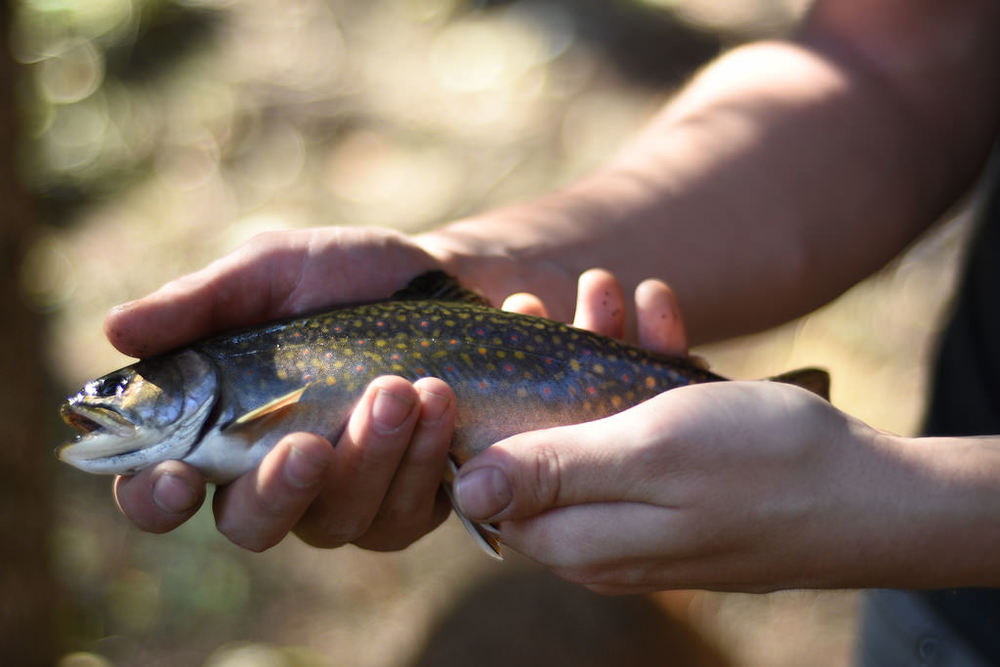 Brook trout mature at 2-3 years of age and are commonly under 16 inches.