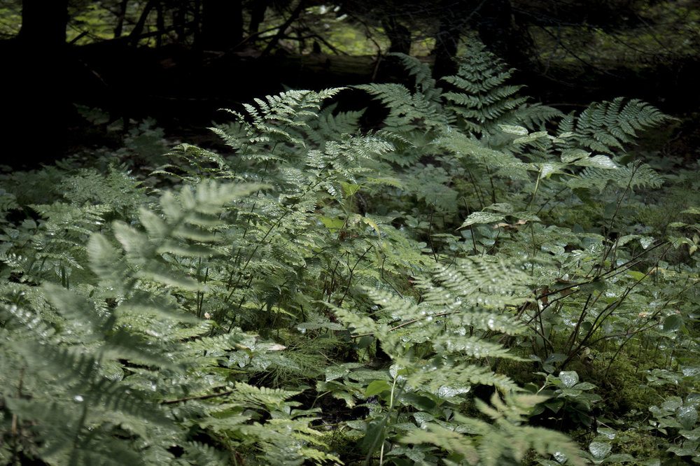 Lady ferns    in a dark spruce forest. (Goodson)