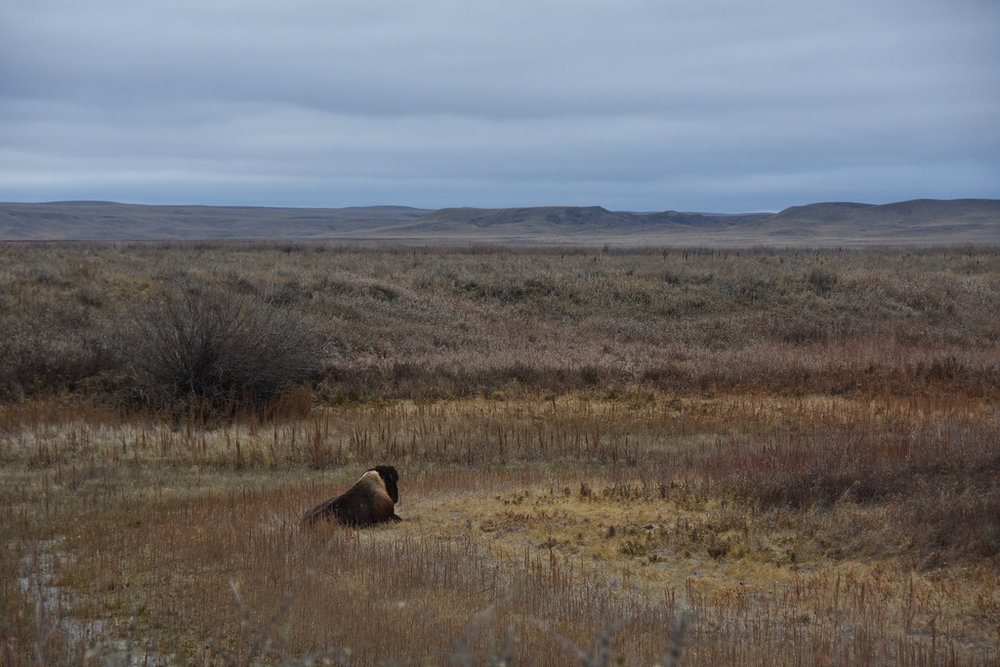 The lonely Plains bison (Hootz)