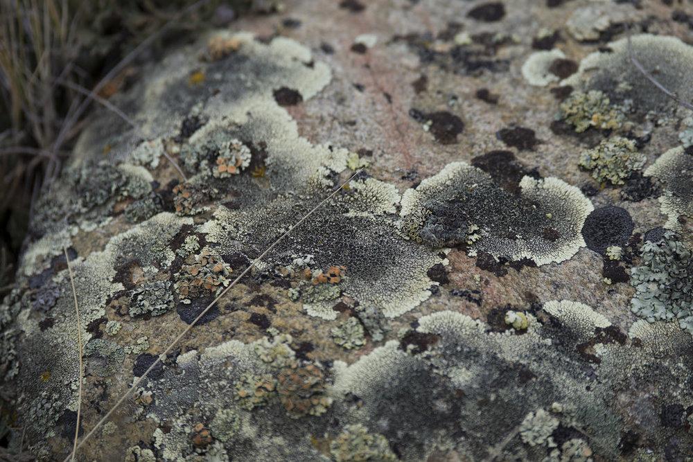 """Dimelaena oreina    — """"Golden moonglow lichen"""" (Goodson)"""