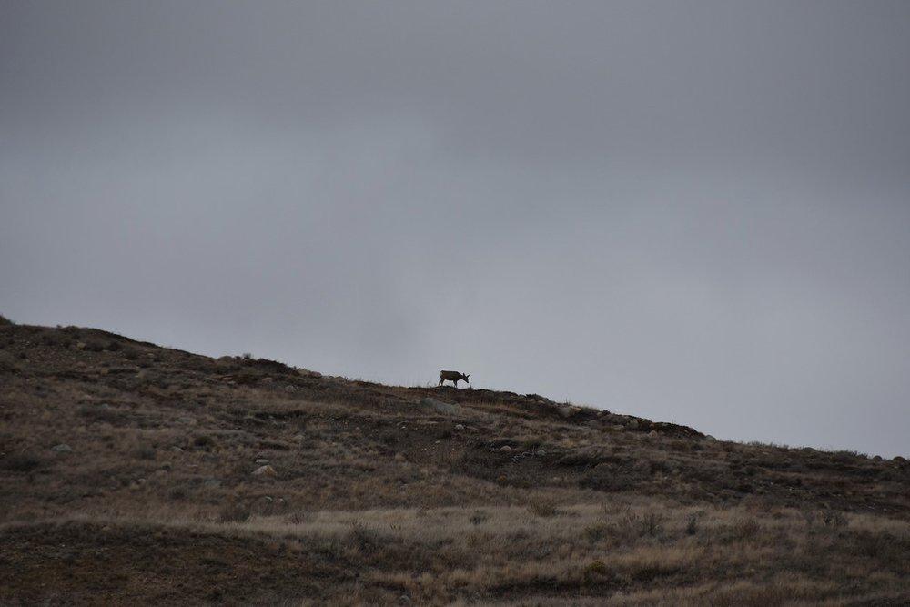 Mule deer (Hootz)