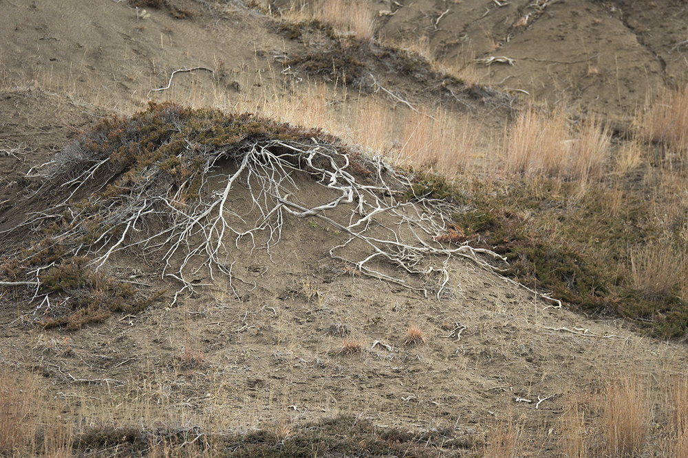 Exposed roots (Goodson)