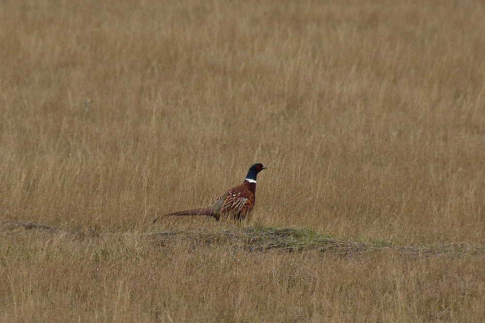 Ring-necked pheasant  a non-native game bird, found in Grasslands National Park. (Hootz)