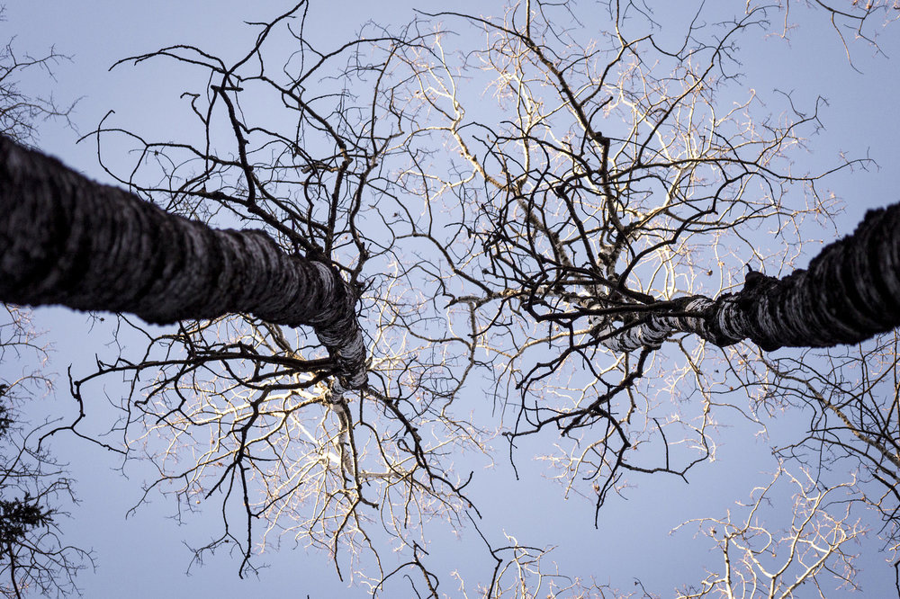 """Axons and Dendrites"" Trembling Aspen in Duck Mountain, Saskatchewan"
