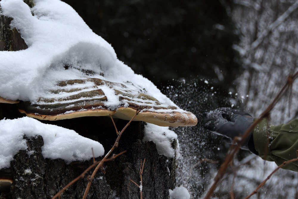 Brushing snow off a large tree fungus. (Hootz)