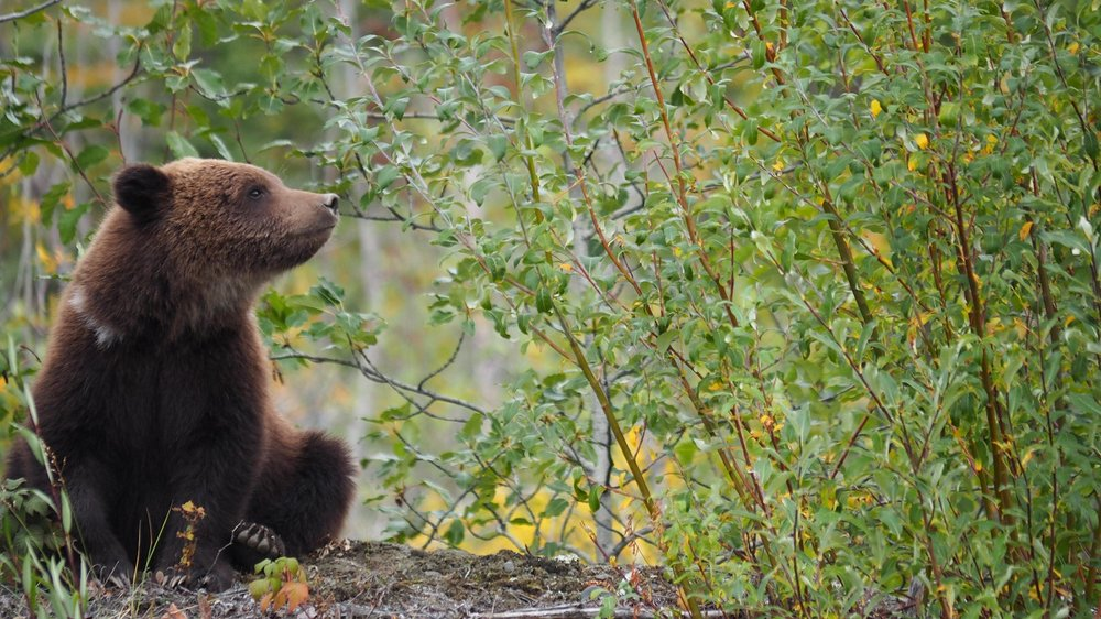 Grizzly cub near Alaska Highway south of Haines Junction, Yukon ( Photo by Lacey Hebert, www.lbearphotography.com )