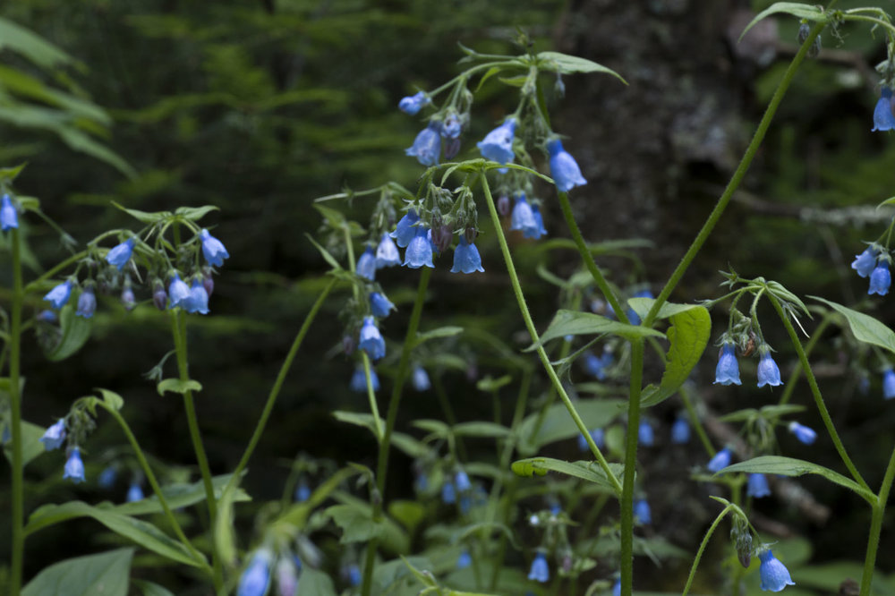 Northern bluebells  aka tall lungwort (  Mertensia paniculata) - Flowers may change colour from white to blue or pink to attract insects and other pollinators. (Goodson)