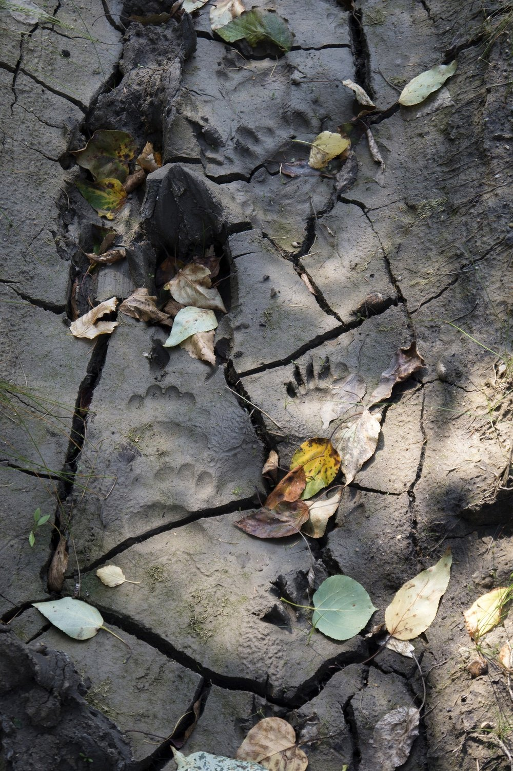 Animal tracks (Goodson)