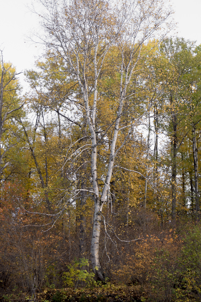Stand-out Specimen - A birch tree near camp stood out from the rest on the riverbank. I couldn't describe why it seemed odd until I noticed how the trunk and branches appeared superimposed on top of its leaves.