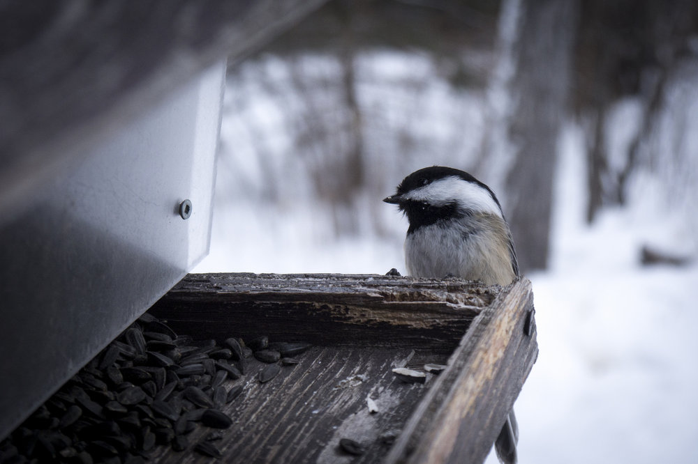 Black-capped chickadees  do not migrate south for the winter. They rely on high-fat seeds and the ability to conserve energy by lowering body temperature ( torpor ) to tolerate winter conditions.