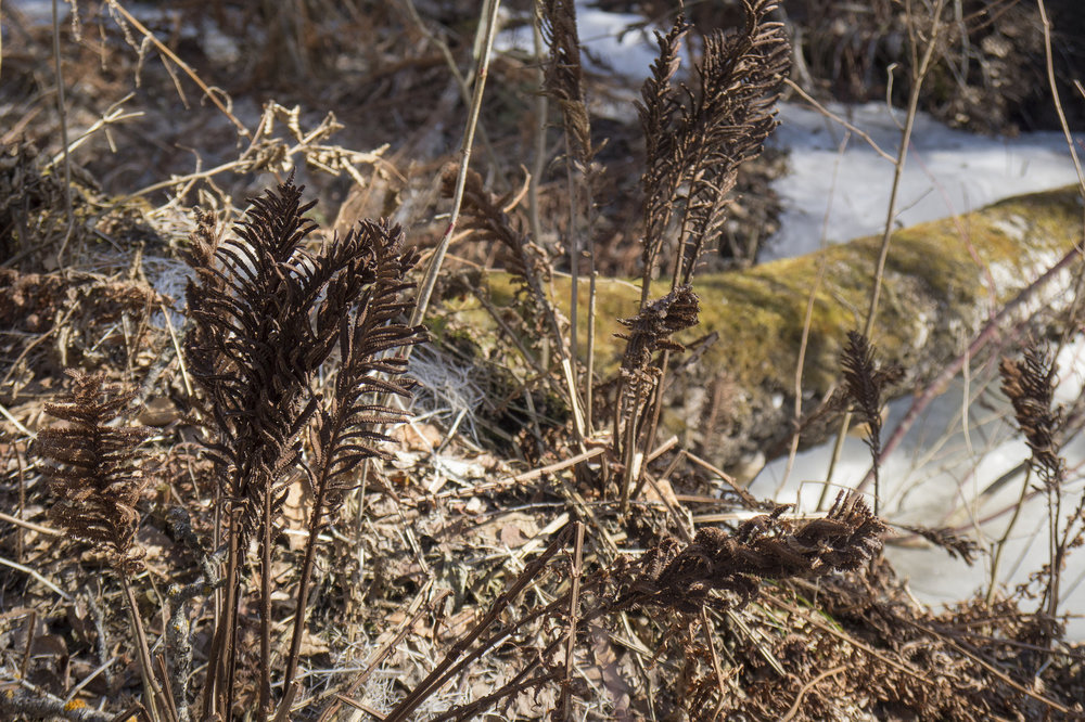 Ostrich fern fronds among snow