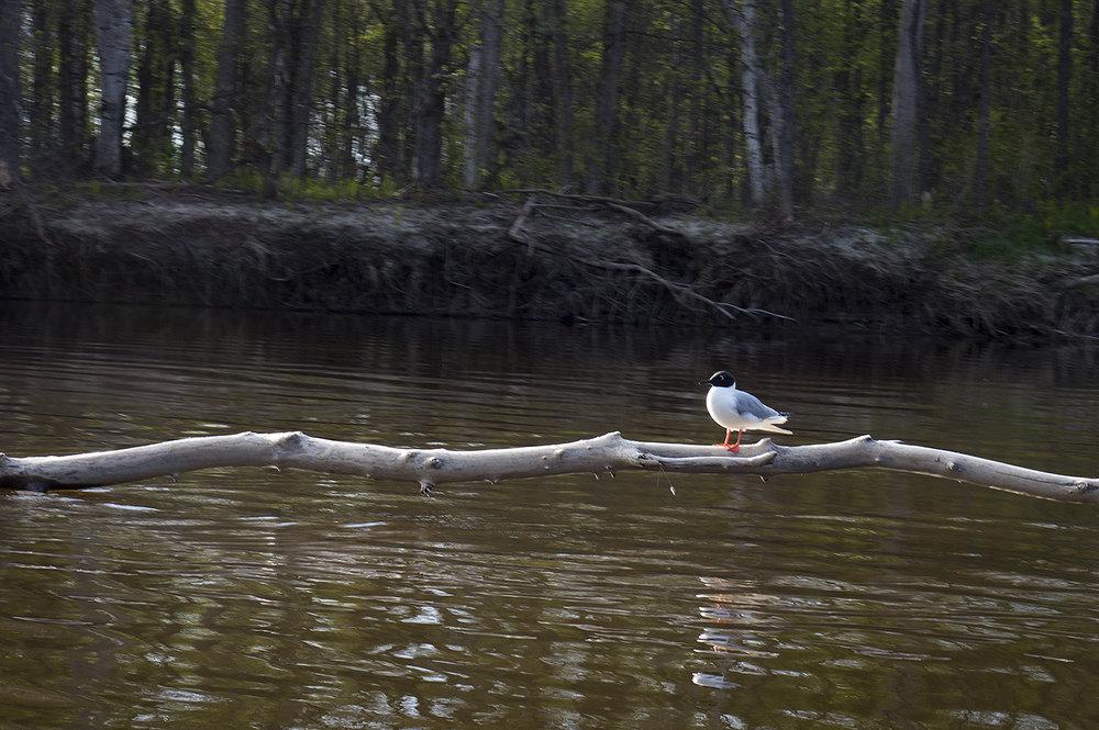 Bonaparte's gull, Chroicocephalus philadelphia  (Goodson)