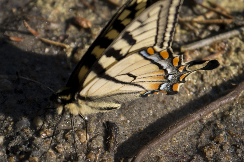 Underside of a Canadian tiger swallowtail ( Papilio canadensis )
