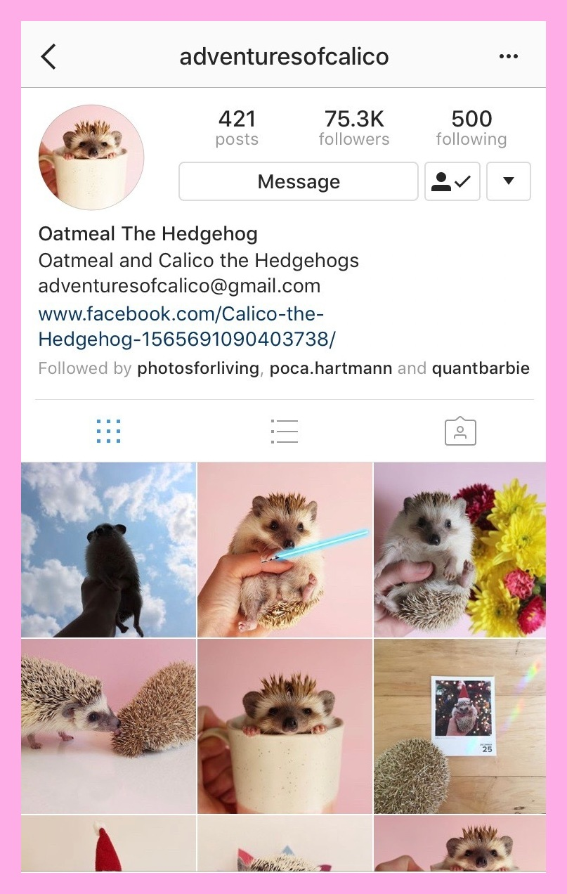 @adventuresofcalico - Oatmeal is an adorable hedgehog pet who often poses in mugs and flowers! You can follow Oatmeal's adventures on Instagram and Facebook!