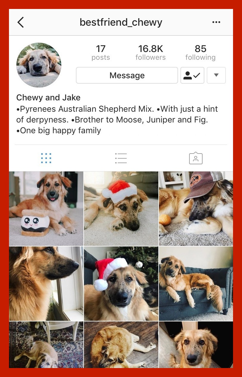 @bestfriend_chewy - Chewy is a Pyrenees Australia Shepherd Mix who is the ultimate man's best friend.He's also brother to celebrity animals Moose, Juniper and Fig. You can pick up your daily dose of cute dogs at his Instagram here.
