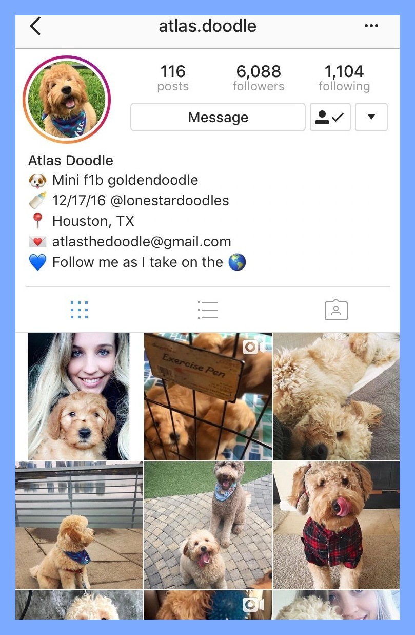 @atlas.doodle - Considering it's our dream to own a golden doodle, we are literally addicted to Atlas' account. Atlas is a 1 yr female mini golden doodle from Houston, Texas. Follow her Instagram here.