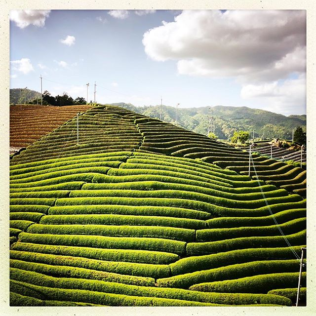 Matcha green tea field.  #Kyoto #Uji #matcha #greentea #photography #Japan
