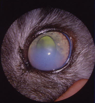 Cloudiness in the cornea of a cat's eye with glaucoma