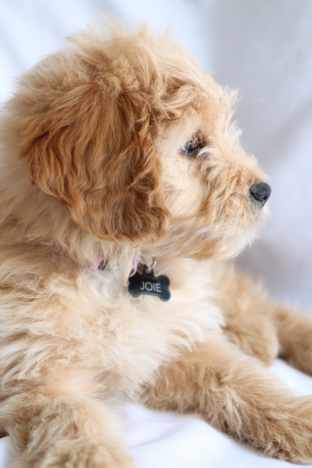 Joie, Mini Goldendoodle, Puppy Love, Adorable,