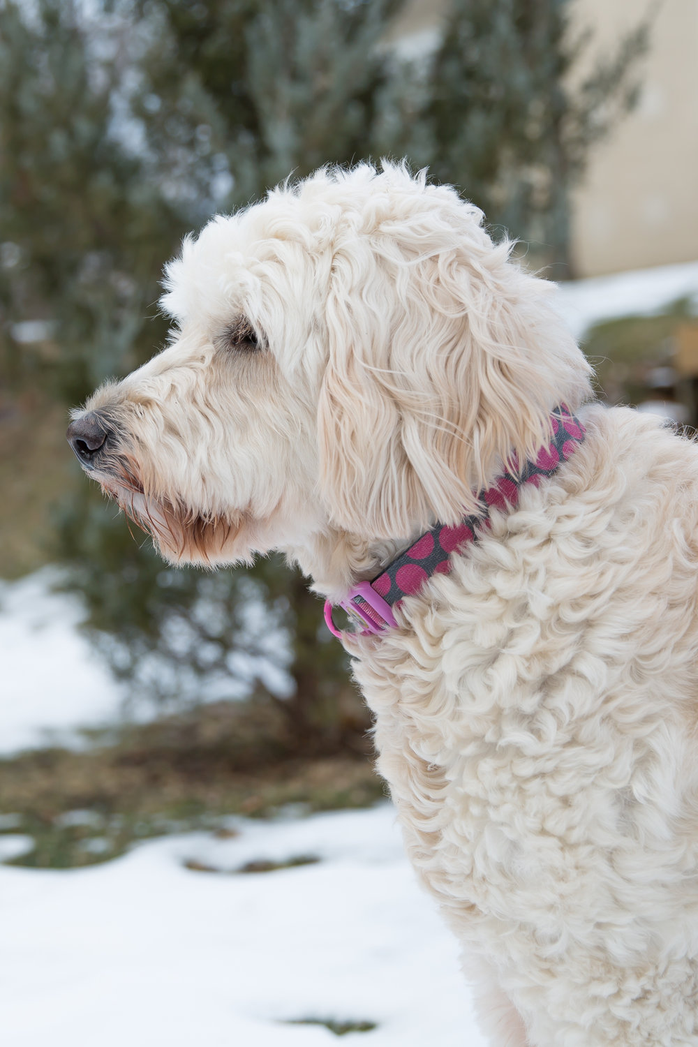 Golden Doodle, Miss Carly, Define Fettle, Family of 4, Dog Mom, Dog Lover, What I'm Into Lately